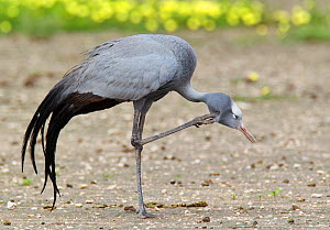 Blue Crane (Anthropoides paradisea) preening. Etosha National Park, Namibia, January. - Tony Heald