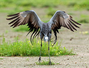 Blue Crane (Anthropoides paradisea) performing its dance display. Etosha National Park, Namibia, January. - Tony Heald