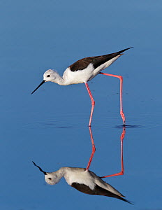 Black-Winged Stilt (Himantopus himantopus) wading. Etosha National Park, Namibia, January.  -  Tony Heald