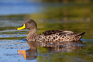 Yellow-Billed Duck (Anas undulata) on water. Cape Town, South Africa, January.  -  Tony Heald
