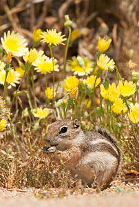 Whitetail Antelope Squirrel (Ammospermophilus leucurus leucurus) feeding in front of wildflowers. Joshua Tree National Park, San Bernardino County, California, USA, May.  -  David Welling