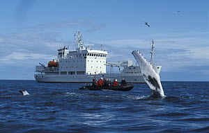Humpback Whale (Megaptera novaeangliae) fluking, watched by tourists in a zodiac and small cruise ship Grigoriy Mikheev. Lautrabjarg, West Iceland, 2003.  -  Troels Jacobsen/Arcticphoto