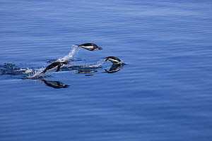 Adelie Penguins (Pygoscelis adeliae) porpoising whilst swimming. This enables them to breathe. Brown Bluff, Antarctica, May.  -  Troels Jacobsen/Arcticphoto