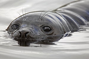 Portrait of a Southern Elephant Seal (Mirounga leonina) in water. South Georgia. - Troels Jacobsen/Arcticphoto
