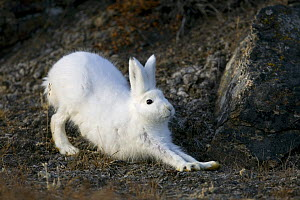 A stretching Arctic Hare (Lepus arcticus) in its winter coat. Scoresbysund, east Greenland, May.  -  Troels Jacobsen/Arcticphoto