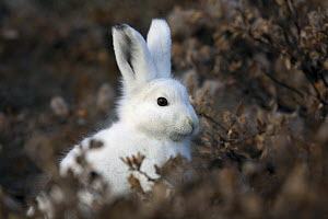 Portrait of an Arctic Hare (Lepus arcticus) in its winter coat seen through vegetation. Scoresbysund, east Greenland, May.  -  Troels Jacobsen/Arcticphoto