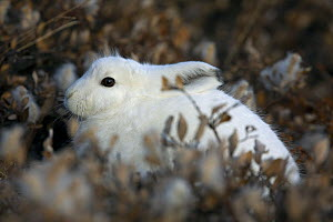 Arctic Hare (Lepus arcticus) in its winter coat amongst vegetation. Scoresbysund, east Greenland, May.  -  Troels Jacobsen/Arcticphoto