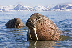Bull Walrus (Odobenus rosmarus) in coastal waters off Spitsbergen. Arctic Norway, June. - Troels Jacobsen/Arcticphoto