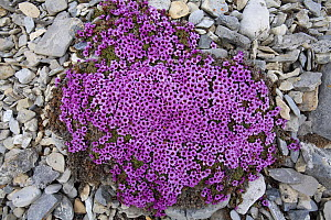 Purple Saxifrage (Saxifraga oppositifolia pulvinata) in flower; this is the cushion form found in wetter places. Svalbard, Europe.  -  Troels Jacobsen/Arcticphoto