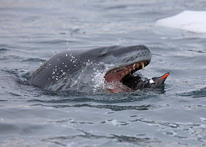 A Leopard Seal (Hydrurga leptonyx) grabs a Gentoo Penguin (Pygoscelis papua) from underwater. Antarctica. Sequence Three of six.  -  Troels Jacobsen/Arcticphoto