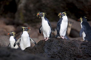 A group of Rockhopper Penguins (Eudyptes chrysocome). The world population of Northern Rockhopper has declined by 90% in the past 60 years. Quest Bay, Gough Island. UNESCO World Heritage site, March.  -  Troels Jacobsen/Arcticphoto