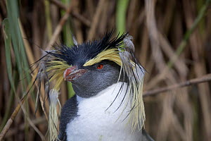 Portrait of a Northern Rockhopper Penguin (Eudyptes chrysocome). This individual is moulting its crest feathers. Nightingale Island, Tristan da Cunha, March. - Troels Jacobsen/Arcticphoto