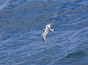 Broad-billed Prion (Pachyptila vittata) gliding low over the waves, upper wing plumage is visible. Southern Atlantic Ocean. - Troels Jacobsen/Arcticphoto