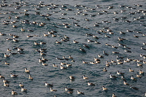 A raft of Greater Shearwaters (Puffinus gravis) resting on the sea. Gough Island, South Atlantic Ocean. - Troels Jacobsen/Arcticphoto