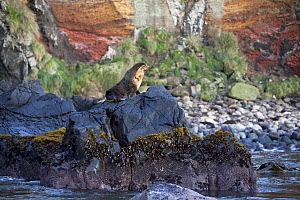 Subantarctic Fur Seal (Arctocephalus tropicalis) standing on sea smoothed volcanic rocks. Quest Bay, Gough Island, South Atlantic Islands, March 2007. - Troels Jacobsen/Arcticphoto