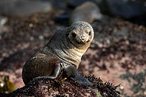 Young Antarctic Fur Seal (Arctocephalus tropicalis) looking over its shoulder. Quest Bay, Gough Island, South Atlantic Islands, March. - Troels Jacobsen/Arcticphoto