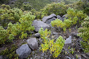 Rocks and plants on Tristan da Cunha. South Atlantic Islands, March. - Troels Jacobsen/Arcticphoto