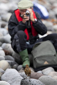 A man videoing a Tristan Thrush (Nesocichla eremita) perching on stones. Tristan da Cunha, South Atlantic Islands, March 2007. - Troels Jacobsen/Arcticphoto