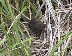 Inaccessible Rail (Atlantisia rogersi) among grasses. This is the smallest flightless bird in the world. Inaccessible Island, Tristan da Cunha group, South Atlantic, March. - Troels Jacobsen/Arcticphoto