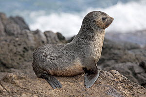 Subantarctic Fur Seal (Artcocephalus tropicalis) cub sat on rocks. Nightingale Island, part of the Tristan da Cunha group, South Atlantic, March. - Troels Jacobsen/Arcticphoto
