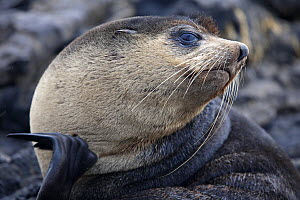 Portrait of a Subantarctic Fur Seal (Arctocephalus tropicalis). Nightingale Island, Tristan da Cunha, south Atlantic, March. - Troels Jacobsen/Arcticphoto