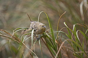 Tristan Bunting / Inaccessible Finch / Nightingale Finch (Nesospiza acunhae) on grass stems. Nightingale Island, Tristan da Cunha, south Atlantic., March. - Troels Jacobsen/Arcticphoto