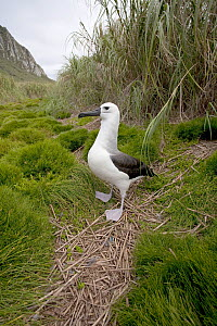 Yellow-nosed Albatross (Thalassarche chlororhynchus) standing on grassed ground. Nightingale Island, Tristan da Cunha, south Atlantic, March. - Troels Jacobsen/Arcticphoto