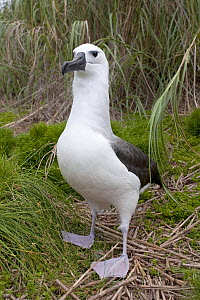 Portrait of a Yellow-nosed Albatross (Thalassarche chlororhynchus) standing on grassed ground. Nightingale Island, Tristan da Cunha, south Atlantic, March. - Troels Jacobsen/Arcticphoto