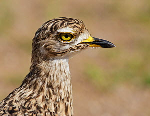 Spotted Thick-Knee / Cape Dikkop (Burhinus capensis) head in profile. Etosha National Park, Namibia, January. - Tony Heald