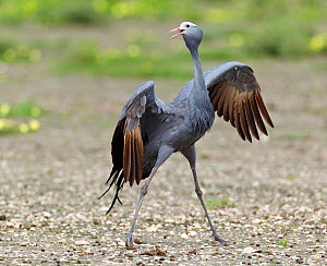 Blue Crane (Anthropoides paradiseus) performing its dance display. Etosha National Park, Namibia, January.  -  Tony Heald