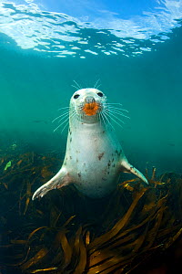 Grey seal (Halichoerus grypus) portrait underwater, amongst kelp. Farne Islands, Northumberland, England, UK, August - Alex Mustard / 2020VISION