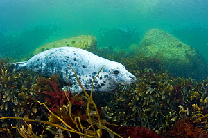 Grey seal (Halichoerus grypus) resting on seabed amongst seaweed, Lundy Island, Bristol Channel, England, UK, May - Alex Mustard / 2020VISION