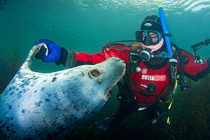 Grey seal (Halichoerus grypus) interacting with a diver, Lundy Island, Bristol Channel, England, UK, May - Alex Mustard / 2020VISION