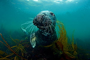 Grey seal (Halichoerus grypus) portrait underwater amongst seaweed, Lundy Island, Bristol Channel, England, UK, May - Alex Mustard / 2020VISION