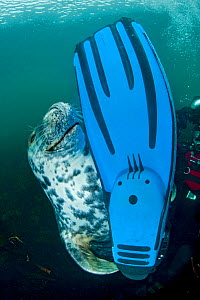 A Grey seal (Halichoerus grypus) seems content to have found a diver's fin to play with, Lundy Island, Bristol Channel, England, UK, May. Grey seals will seek out divers and clearly enjoy demonstrati...  -  Alex Mustard / 2020VISION