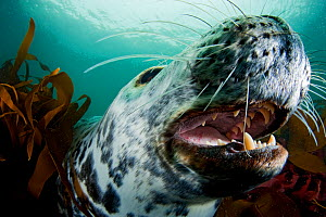Grey seal (Halichoerus grypus) shows its teeth in a playful moment, Lundy Island, Bristol Channel, England, UK, May  -  Alex Mustard / 2020VISION