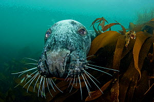 Grey seal (Halichoerus grypus) peering around  kelp to investigate, Lundy Island, Bristol Channel, England, UK, May  -  Alex Mustard / 2020VISION