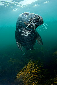 Grey seal (Halichoerus grypus) underwater, Lundy Island, Bristol Channel, England, UK, May - Alex Mustard / 2020VISION