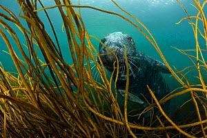 Grey seal (Halichoerus grypus) underwater, swimming amongst kelp, Lundy Island, Bristol Channel, England, UK, May - Alex Mustard / 2020VISION