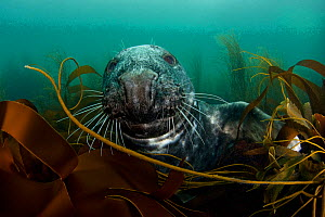 RF- Grey seal (Halichoerus grypus) among kelp. Lundy Island, Bristol Channel, England, UK, May. Grey seals can dive up to 70 metres and stay underwater for 30 minutes. (This image may be licensed eith... - Alex Mustard / 2020VISION