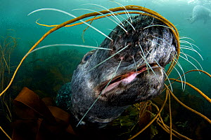 Grey seal (Halichoerus grypus) close-up underwater amongst kelp, Lundy Island, Bristol Channel, England, UK, May. Did you know? Seals can dive up 70 metres when feeding.  -  Alex Mustard / 2020VISION