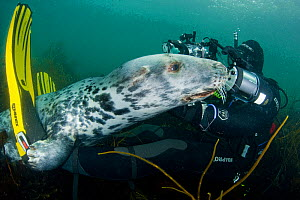 Grey seal (Halichoerus grypus) interacting with diver underwater, Lundy Island, Bristol Channel, England, UK, May. Photographer quote: 'Seal photography is a very interactive process, with the seals j... - Alex Mustard / 2020VISION