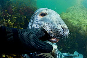 Grey seal (Halichoerus grypus) biting diver's glove, Lundy Island, Bristol Channel, England, UK, May - Alex Mustard / 2020VISION