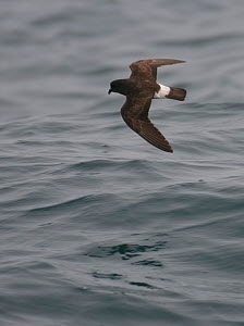 European storm-petrel (Hydrobates pelagicus) in flight over Irish sea off Pembrokeshire coast, Wales, UK, August 2010  -  Chris Gomersall / 2020VISION