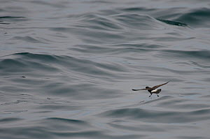 European storm-petrel (Hydrobates pelagicus) hovering in flight over water surface, feeding, Irish sea off Pembrokeshire coast, Wales, UK, August 2010  -  Chris Gomersall / 2020VISION
