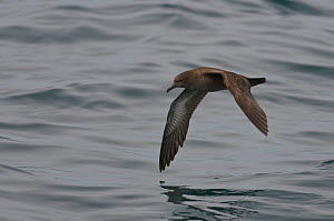 Sooty shearwater (Puffinus griseus) adult in flight over Irish sea off Pembrokeshire coast, Wales, UK, August 2010. Did you know? Hitchcock's film 'The Birds' was partly inspired by an incident in Mon... - Chris Gomersall / 2020VISION