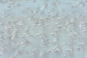 Flock of Red knot (Calidris canutus) in flight, long exposure, winter plumage, Snettisham RSPB reserve, Norfolk, England, UK, October. Did you know? The Wash Estuary in Norfolk is estimated to have a...  -  Chris Gomersall / 2020VISION