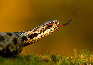 Adder (Vipera berus) tasting the air with tongue,  Staffordshire, England, UK, April. 2020VISION Exhibition. 2020VISION Book Plate.  -  Danny Green / 2020VISION
