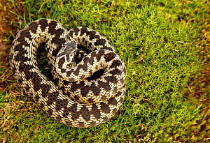 "Adder (Vipera berus) coiled, basking on moss in the spring sunshine, Staffordshire, England, UK, April. Photographer quote: ""OK so snakes are perhaps not as sexy as seals or foxes but I just can't get... - Danny Green / 2020VISION"