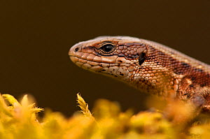 Viviparous / Common lizard (Zootoca /Lacerta  vivipara) portrait, Staffordshire, England, UK, April. 2020VISION Book Plate. Did you know? Common lizards are both able to lay eggs and give birth.  -  Danny Green / 2020VISION